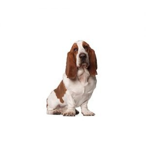 The Barking Boutique Basset Hound