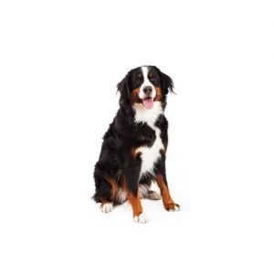 The Barking Boutique Bernese Mountain Dog