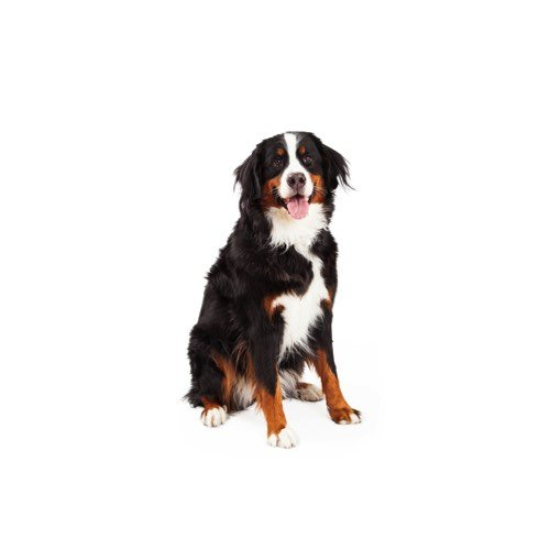 Bernese Mountain Dog Puppies For Sale Grand Rapids Mi