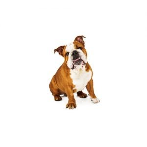 The Barking Boutique English Bulldog