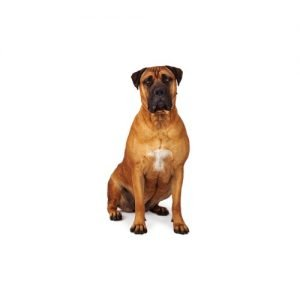 The Barking Boutique Bullmastiff