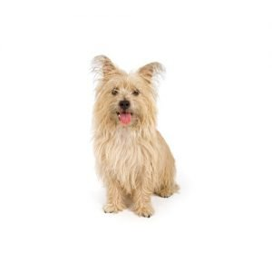The Barking Boutique Cairn Terrier