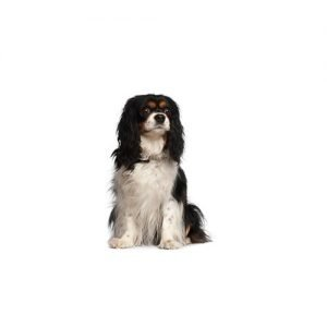 The Barking Boutique Cavalier King Charles Spaniel