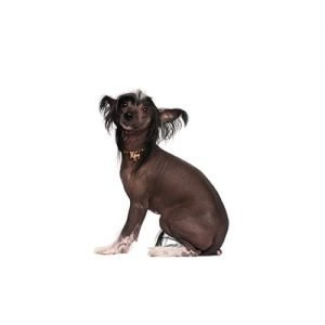 The Barking Boutique Chinese Crested