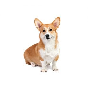 The Barking Boutique Pembroke Welsh Corgi