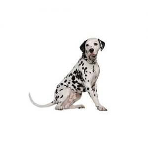 The Barking Boutique Dalmatian