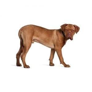 The Barking Boutique Dogue de Bordeaux