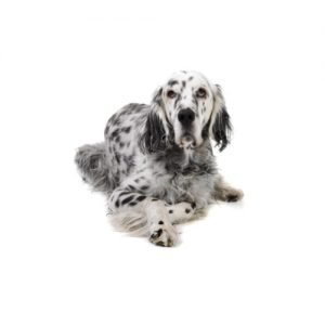 The Barking Boutique English Setter