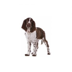 The Barking Boutique English Springer Spaniel