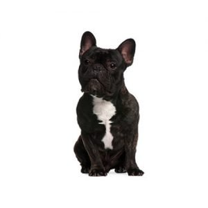 The Barking Boutique French Bulldog