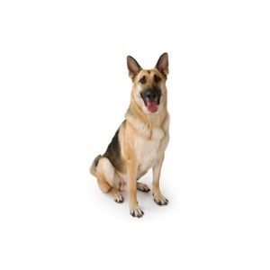 The Barking Boutique German Shepherd