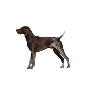 The Barking Boutique German Shorthaired Pointer