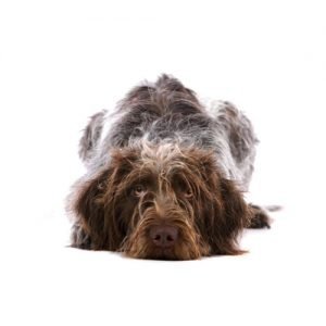 The Barking Boutique German Wirehaired Pointer