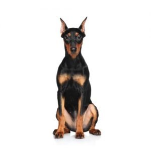 The Barking Boutique German Pinscher