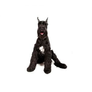 The Barking Boutique Giant Schnauzer