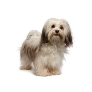 The Barking Boutique Havanese