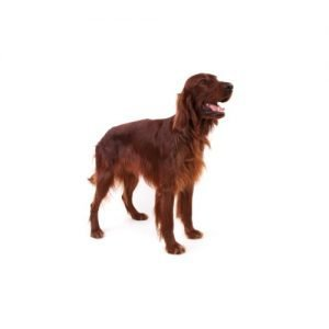 The Barking Boutique Irish Setter