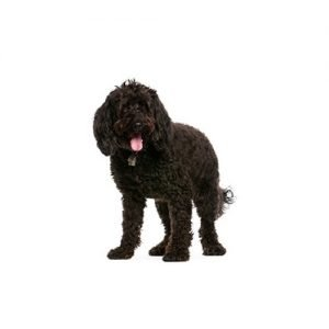 The Barking Boutique Labradoodle