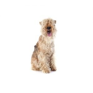 The Barking Boutique Lakeland Terrier