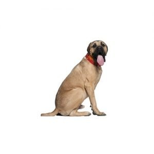 The Barking Boutique English Mastiff