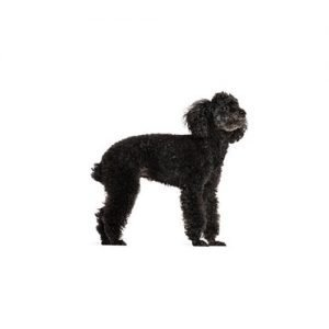The Barking Boutique Miniature Poodle