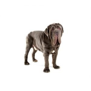 The Barking Boutique Neapolitan Mastiff