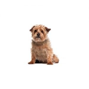 The Barking Boutique Norfolk Terrier