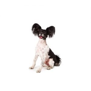 The Barking Boutique Papillon