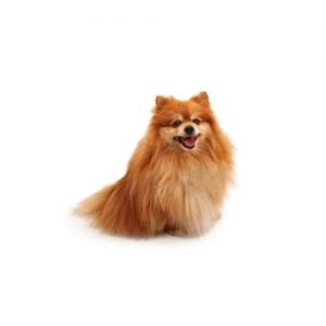 The Barking Boutique Pomeranian