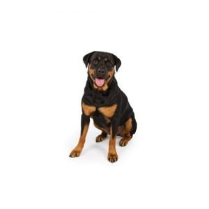 The Barking Boutique Rottweiler