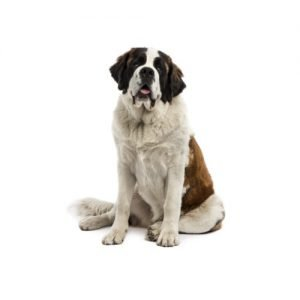 The Barking Boutique Saint Bernard