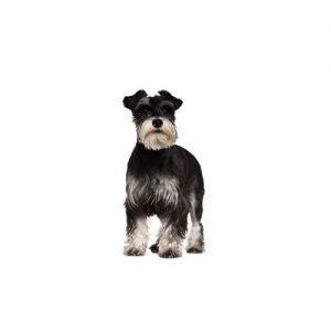 The Barking Boutique Standard Schnauzer