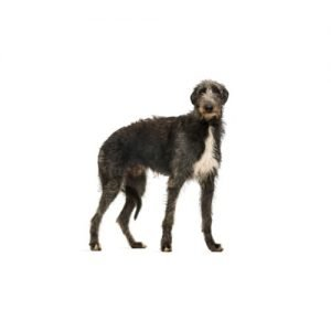 The Barking Boutique Scottish Deerhound