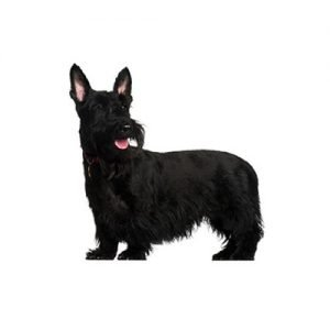 The Barking Boutique Scottish Terrier