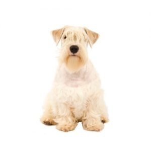 The Barking Boutique Sealyham Terrier