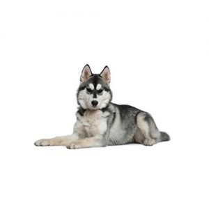 The Barking Boutique Siberian Husky