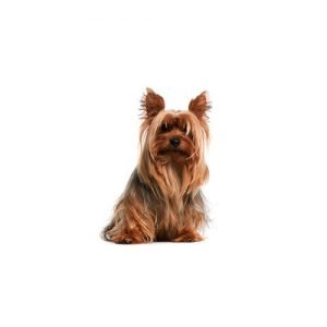 The Barking Boutique Silky Terrier