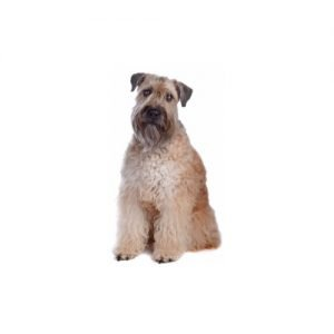 The Barking Boutique Soft Coated Wheaten Terrier