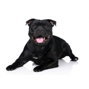 The Barking Boutique Staffordshire Bull Terrier