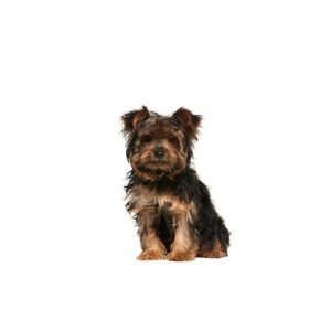 The Barking Boutique Yorkie-Chon
