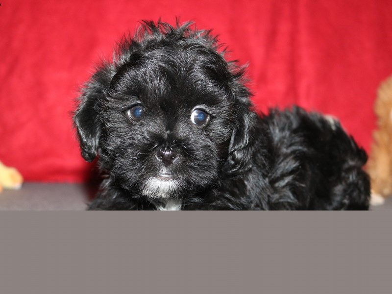 Poodle/Shih Tzu-Male-Black-2257036-The Barking Boutique