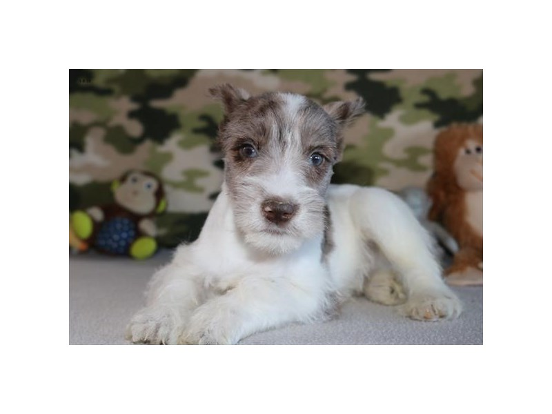 Miniature Schnauzer-Male-Chocolate Merle-2263096-The Barking Boutique