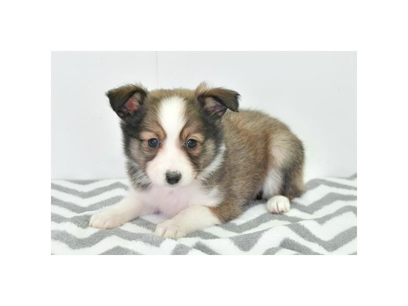 Shetland Sheepdog-Female-Sable / White-2272970-The Barking Boutique