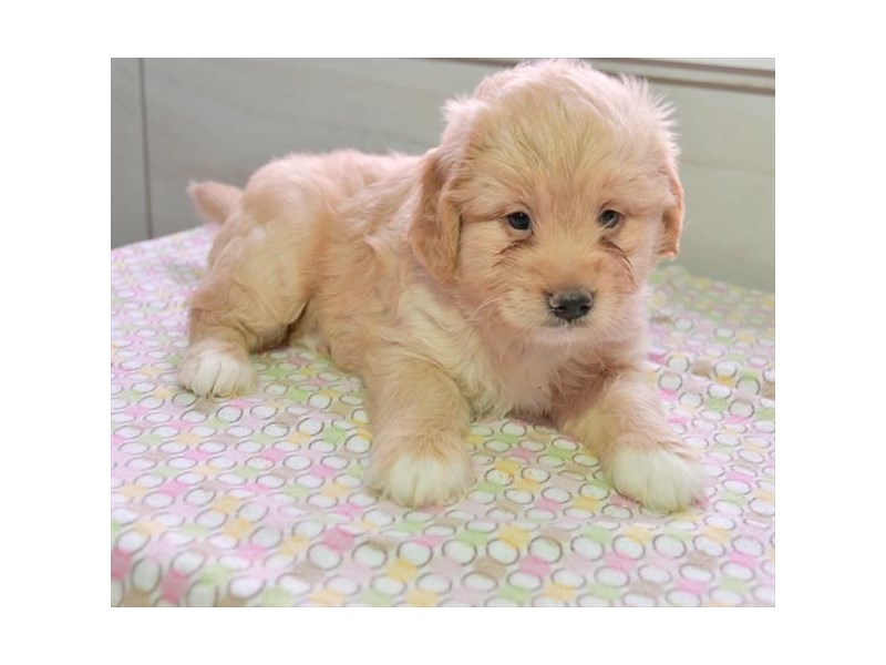 Goldendoodle Mini-Female-Golden-2272978-The Barking Boutique