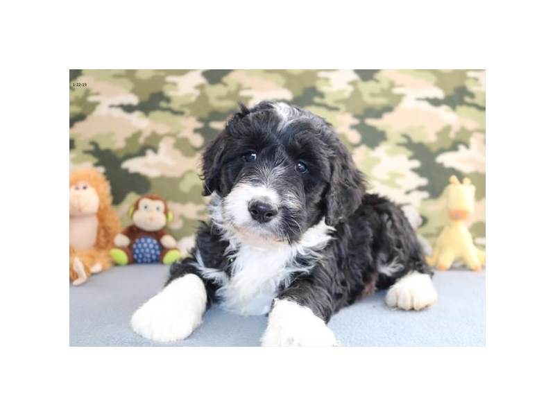 Poodle/Australian Shepherd-Female-Black / White-2272984-The Barking Boutique