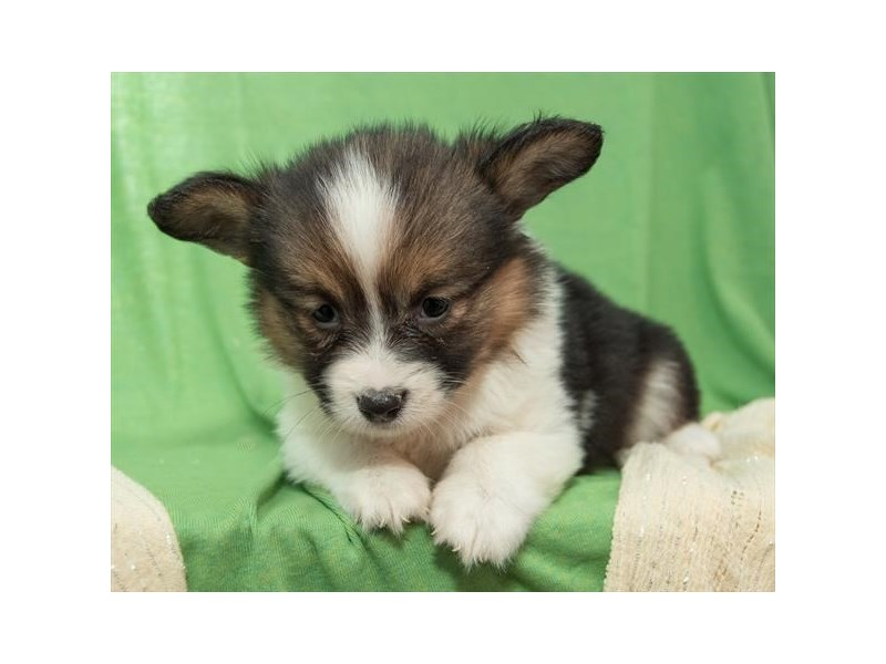 Pembroke Welsh Corgi-Female-Black-2278084-The Barking Boutique