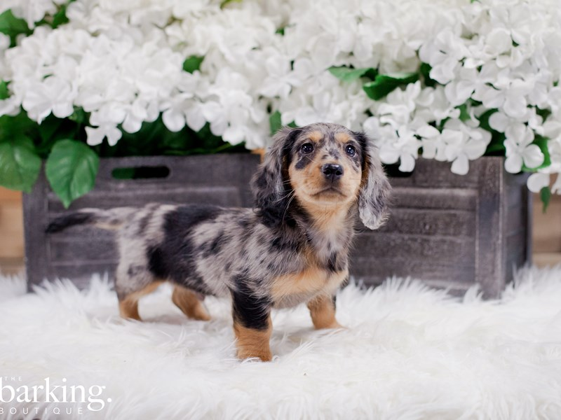 Dachshund-Male-Silver Dapple-2272973-The Barking Boutique