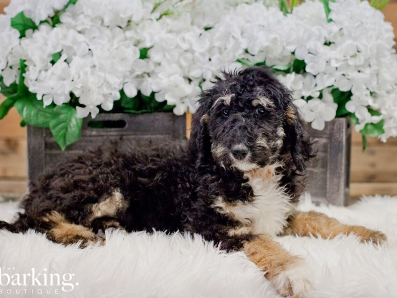 Mini Bernedoodle-Male-Tri color-2278310-The Barking Boutique