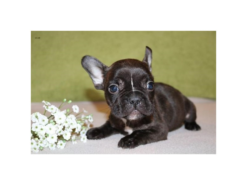 French Bulldog – Maya