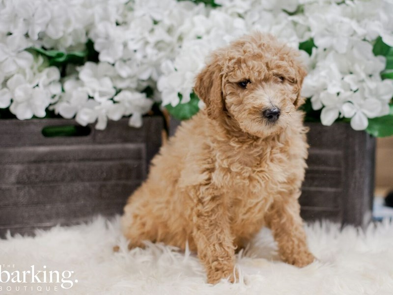 Goldendoodle F1b-Female-Apricot-2283627-The Barking Boutique
